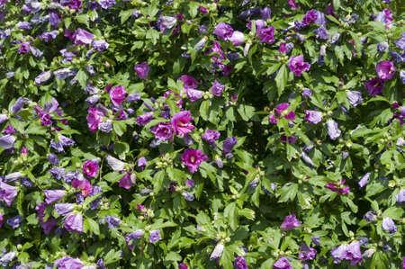rosemallow: Pianta con fiori di ibisco, acetosa, Flor de Jamaica, rosemallow, malva Archivio Fotografico