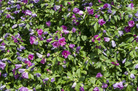 rosemallow: Plant with flowers of hibiscus, sorrel, flor de Jamaica,  rosemallow, mallow  Stock Photo
