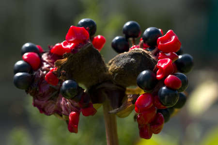 underbrush: Black and red berries of ornamental plant Stock Photo