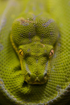 Detail of green python, Morelia viridis photo