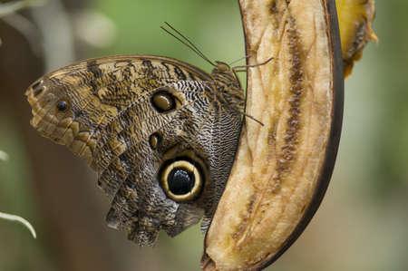 comiendo platano: Mariposa tropical come el pl�tano