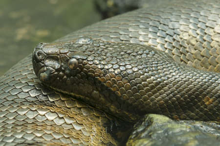 detai: anaconda snake of South America Eunectes murinus