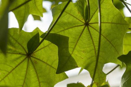 malvaceae: Kokia drynarioides, Hawaiian Tree Cotton, flowering plant in the mallow family, Malvaceae, endemic to the Big Island of Hawaii.