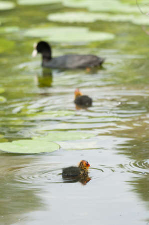 Adult coot feeding its chick Stock Photo - 19065872