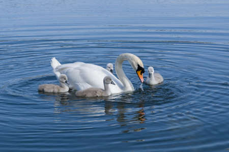Parent swan with young chicks on a pond photo