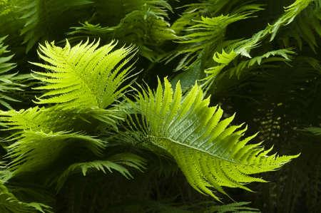 Green Fern leaves in backlight