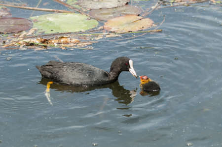 Adult coot feeding its chick Stock Photo - 19065900