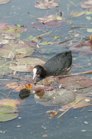 Adult coot feeding its chick Stock Photo - 19065927