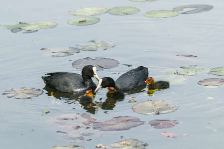 Adult coot feeding its chick Stock Photo - 19065886