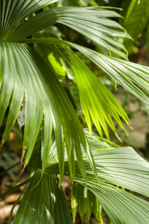 Jipijapa palm (Carludovica palmata) is a palm-like monocot plant, used for the Panama hats.