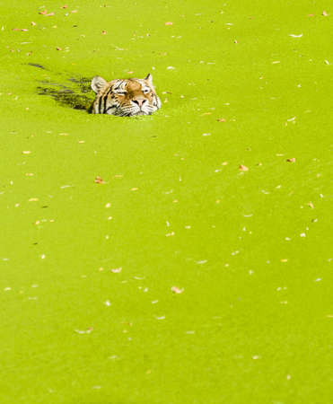 Tiger swimming in a pond covered with green plants Stock Photo - 19066006