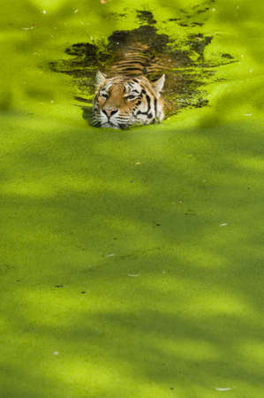 Tiger swimming in a pond covered with green plants Stock Photo - 19066041