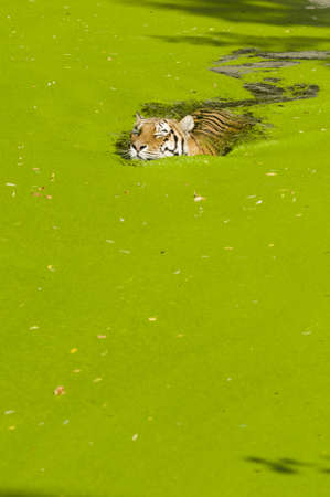 Tiger swimming in a pond covered with green plants Stock Photo - 19066017