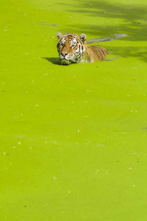 Tiger swimming in a pond covered with green plants Stock Photo - 19066012