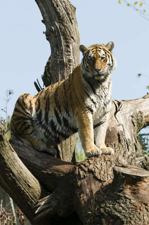 Tiger posing on a tree and watching photo