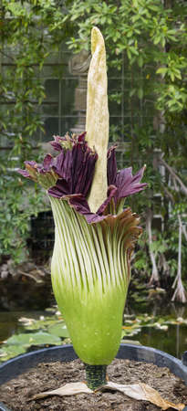 titan: Amorphophallus titanum known as the titan arum or corpse flower, is a flowering plant with the largest unbranched inflorescence in the world