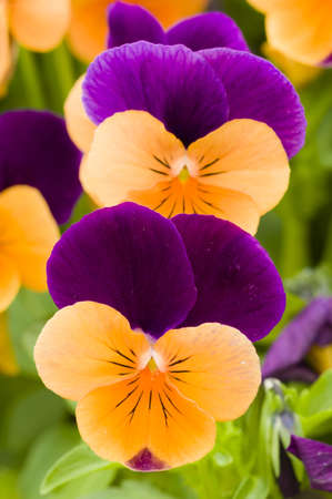 Yellow and purple violet pansy flowers photo