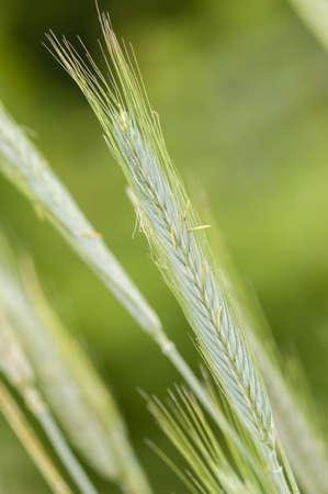 secale: Rye (Secale cereale) is a grass grown extensively as a grain and as a forage crop