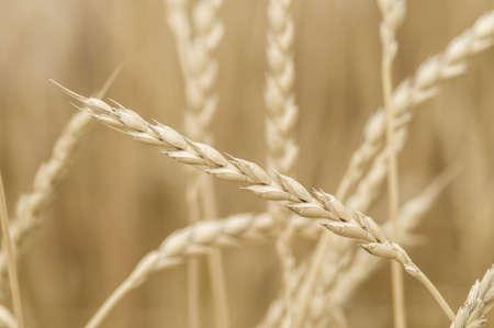 subspecies: Spikes of bread wheat, Triticum aestivum, spelta subspecies