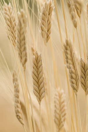 Spikes of Einkorn wheat, Triticum monococcum