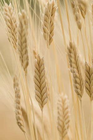 Spikes of Einkorn wheat, Triticum monococcum