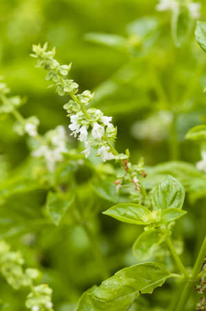 Basil flowers and leaves, Ocimum basilicum Stock Photo