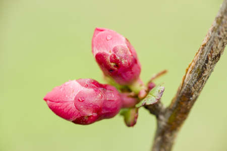 Pink buds of flowers in Spring Stock Photo - 19113395