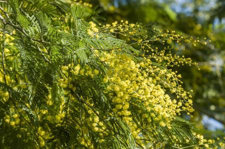 Flowers of wattle plant, Acacia dealbata Stock Photo
