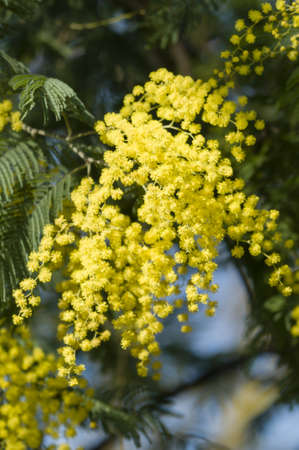 wattle: Flowers of wattle plant, Acacia dealbata Stock Photo