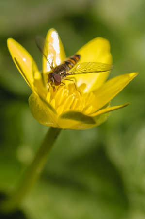 syrphid fly: Hoverfly, flower fly or syrphid fly, of hte insect family Syrphidae