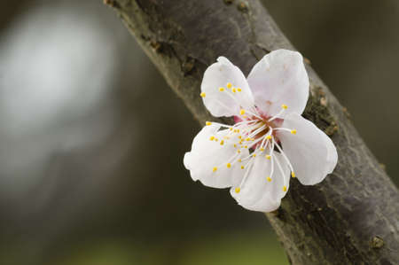 Close up of Japanese cherry blossom flower in Spring Stock Photo - 19128893