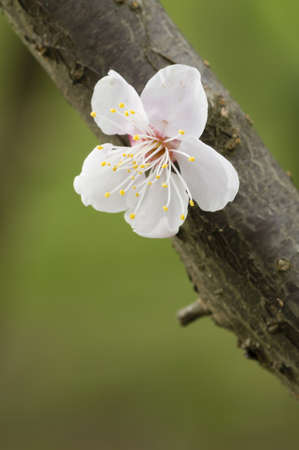 Close up of Japanese cherry blossom flower in Spring photo