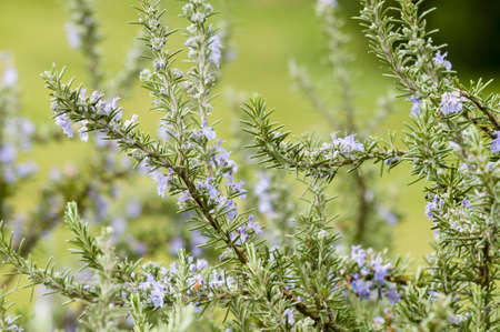 Plants of Rosemary with blue flowers in Spring