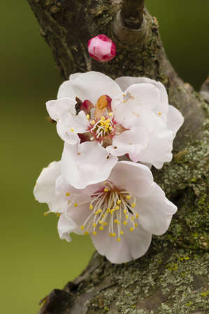 Close up of Japanese cherry blossom flower in Spring Stock Photo - 19129017