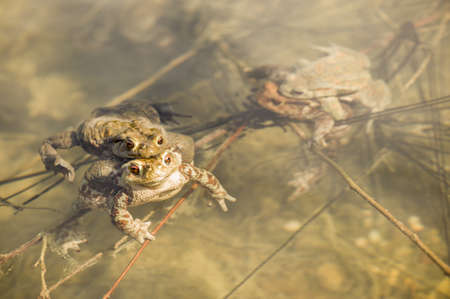 frog egg: Close up of mating toads, Bufo bufo, in a pond