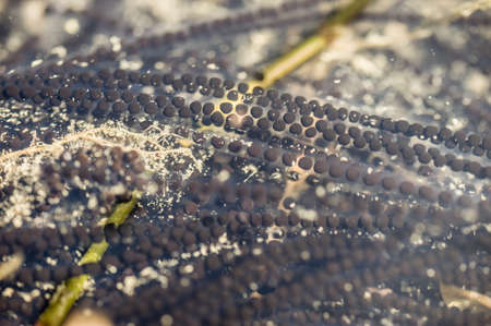 bufo bufo: Close up of toads eggs, Bufo bufo, in a pond