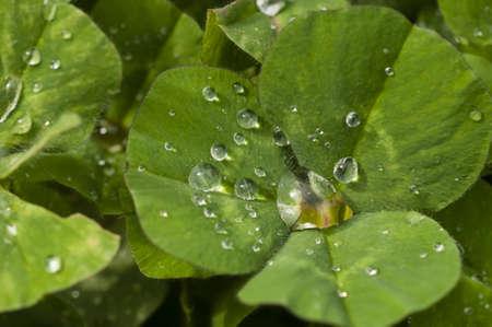 Dew drops on Clover leaf, Trifolium Stock Photo - 19129354