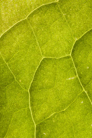 Leaf veins detail in back light photo