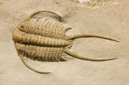 fossilized: trilobite fossil with thorns and spines