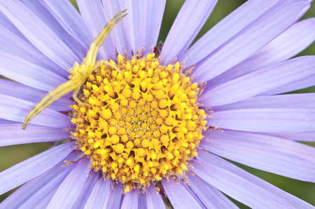 thomisidae: Crab spider in hunt posture on purple and yellow anemone flower