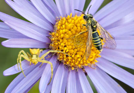 flower crab spider: Crab spider and wasp on purple and yellow anemone flower