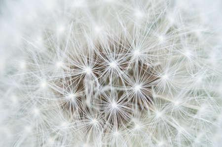 Dandelion pappus seeds detail