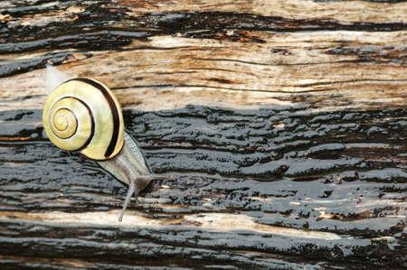 Ground snail crawling on wet striped wood Reklamní fotografie