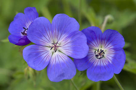 Blue and purple wild geranium flowers on green background