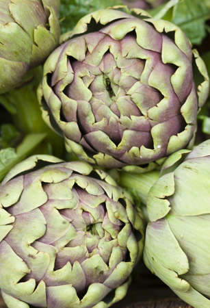 Globe artichoke, Cynara cardunculus  scolymus, perennial edible thistle