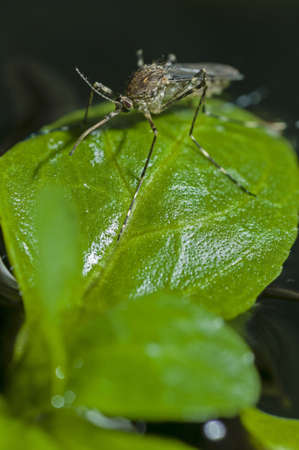 invasive species: Korean mosquito, Aedes koreicus, accidentally introduced in Europe in 2008