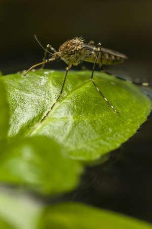 introduced: Corea del mosquito, Aedes koreicus, introducida accidentalmente en Europa en 2008
