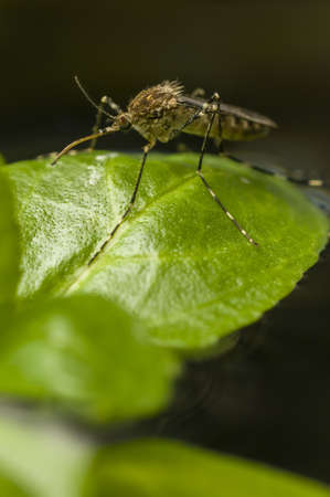 Korean mosquito, Aedes koreicus, accidentally introduced in Europe in 2008 photo