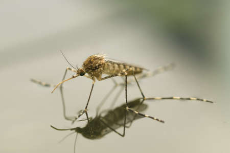 Korean mosquito, Aedes koreicus, accidentally introduced in Europe in 2008 Stock Photo - 19128658