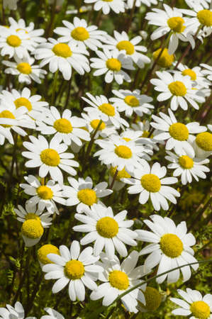 Chamomille flower field under the sun in Spring